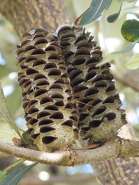 Banksia integrifolia cones
