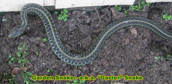 Garden snake information facts gardener snake snakes Garden snakes in texas