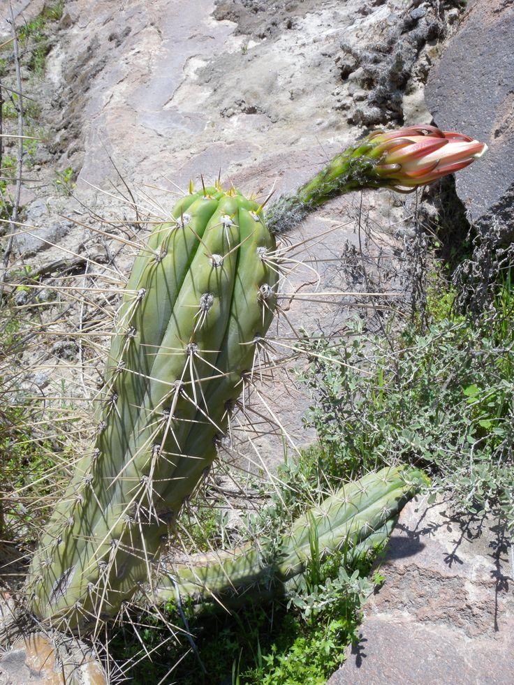 Trichocereus cuzcoensis / peruvianus HUANCAVELICA Buy seeds…