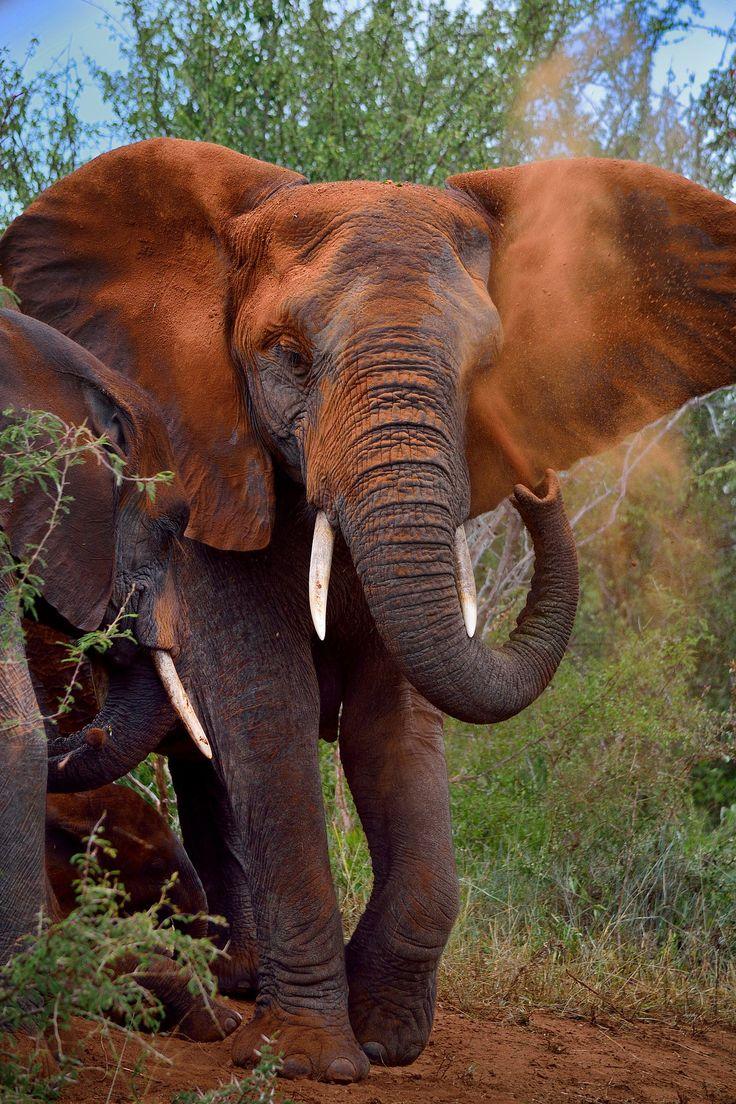 https://flic.kr/p/rdUfy3 | Elephant taking a dust shower