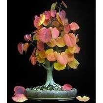 Sementes De Katsura Tree P/ Mudas Bonsai E Arvore Paisagismo