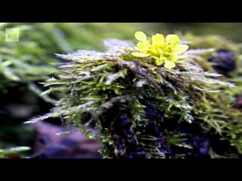 Ulos luontoon - Kevätseuranta (3/5) Kasvit ja siitepölyt 2014