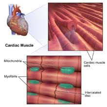 Image result for desmosomes and gap junctions in cardiac muscle