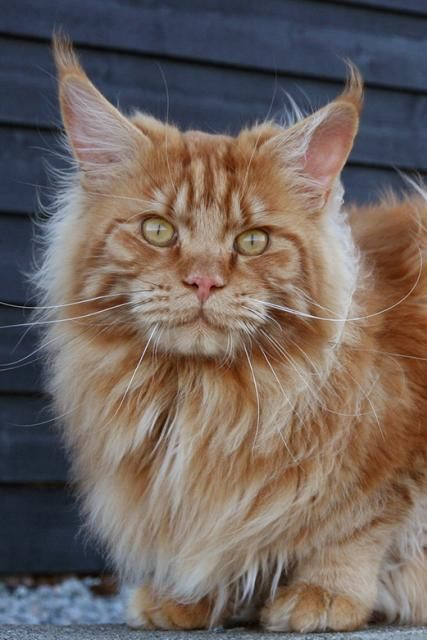 #MaineCoon #Red #Solid #Cats Ch. Kashmir of Vingilot *CZ
