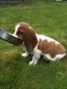 Probably my favorite photo of my puppy Fergus... course he's a lot bigger now. #basset #puppy
