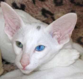 Странно глазами Белый Ориентальный кот (ORI ж 63), родился 21.05.04 был, на этой фотографии около 2 месяцев.