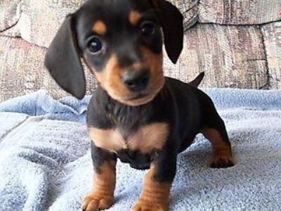 Miniature Dashound, the second kind of dog I want!
