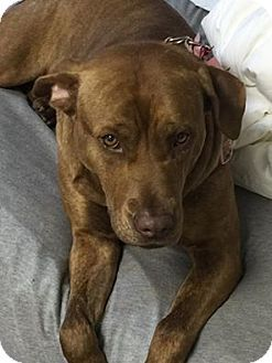 9/17/16 - New York, NY - Pit Bull Terrier Mix. Meet Hope, a dog for adoption. http://www.adoptapet.com/pet/14637395-new-york-new-york-pit-bull-terrier-mix