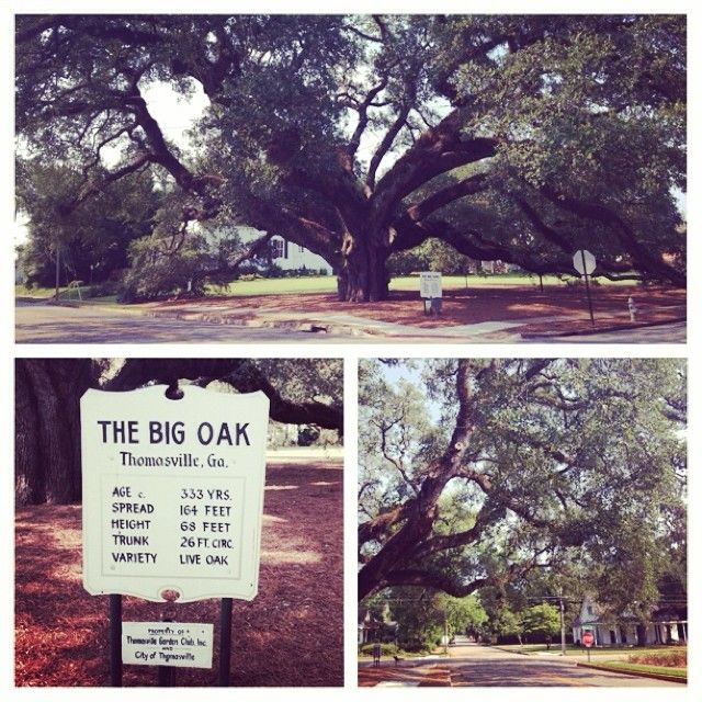 The Big Oak In Thomasville GA
