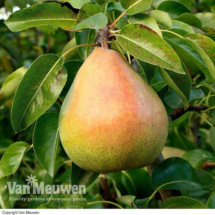 Pears: Planting fruit trees in February. There is still time to plant pears, from mini patio fruit trees, to the classic conference pear or dwarf varieties. Which one will you choose? #growyourown #allotment #fruitgarden #gardening #greenfingers