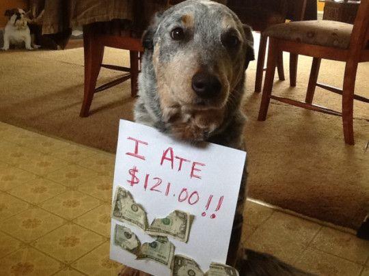 Funny Naughty Dog Eating Treats