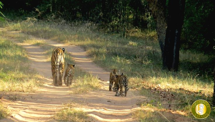 Sukhi Patiha Female Tigress with her three cubs during the afternoon drive in Magadhi Zone, #Bandhavgarh National Park, All images are taken by one of the guest from Kings Lodge- Bandhavgarh(www.kingslodge.in)