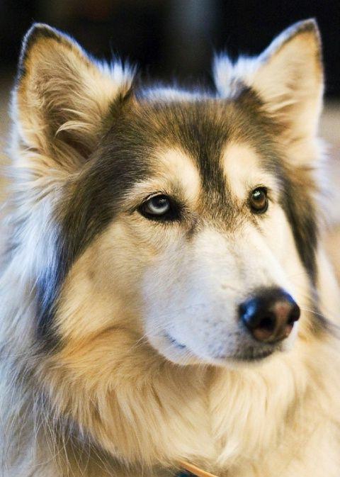wolf husky hybrid | Nikita..