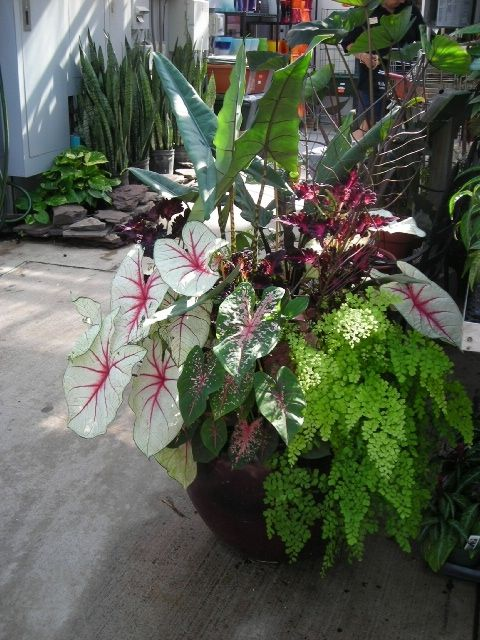 Beautiful Container Garden Showing Coleus, Maidenhair Fern, Caladium, U0026 Alocasia ( Shade)