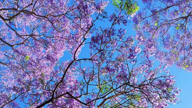 Jacaranda trees in full bloom create Aussie purple paradise-----One UNSW student shared her view of the sky.