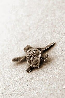 Baby Sea Turtle                                                                                                                                                                                 More