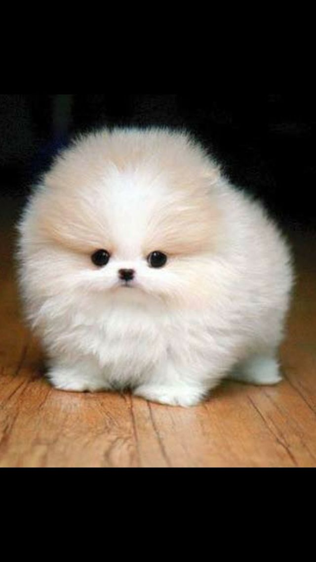 teacup pomeranian full grown size 28 best teacup pomeranian images on pinterest teacup 5444