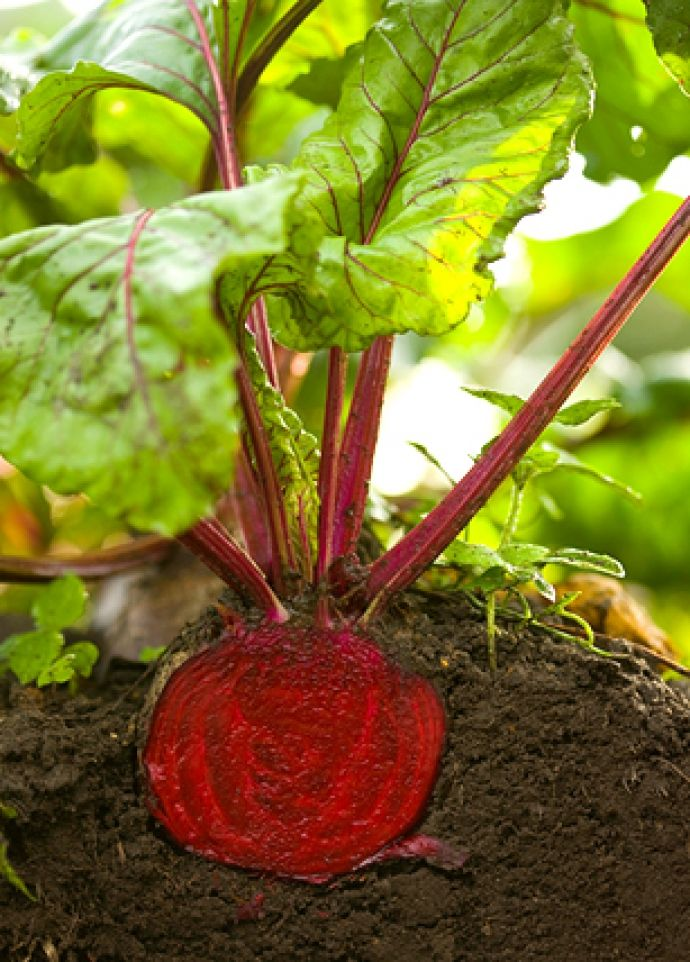 "Interesting article on beets. ""Growing Beets how-to. It's super easy! =)"""