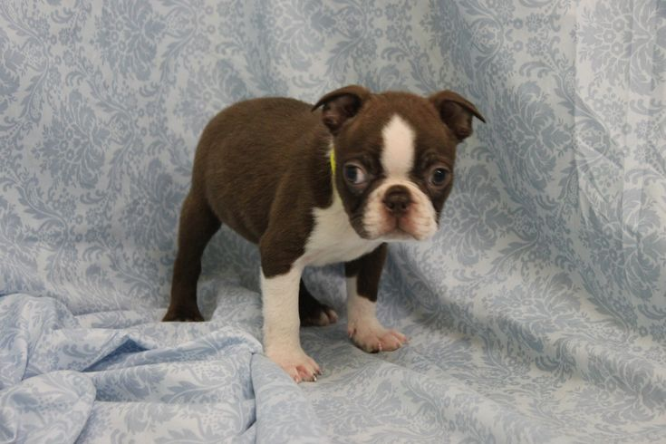 boston terrier puppies for sale boston terrier 5873 puppy for sale ...
