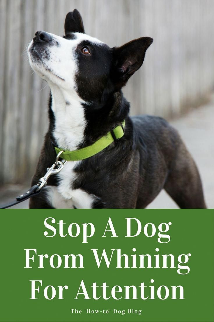 Why Is My Dog Whining Dog Training Dog Training Tips Dog Whining