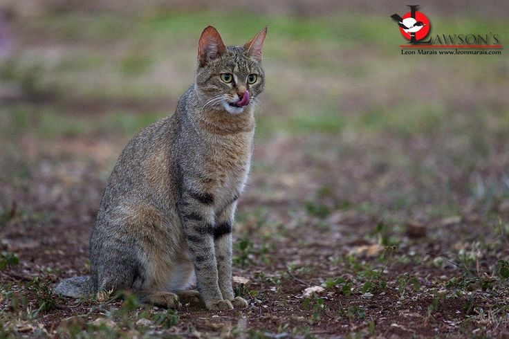 African Wild Cat, Satara Rest Camp, #Kruger.