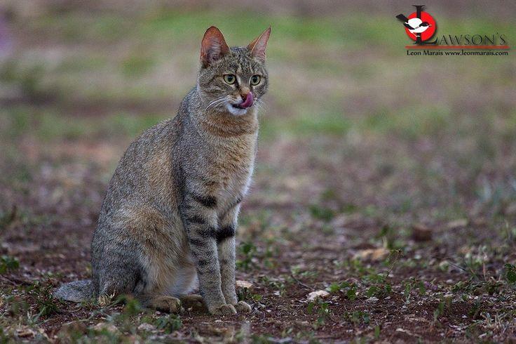 African Wild Cat, Satara Rest Camp, #Kruger.