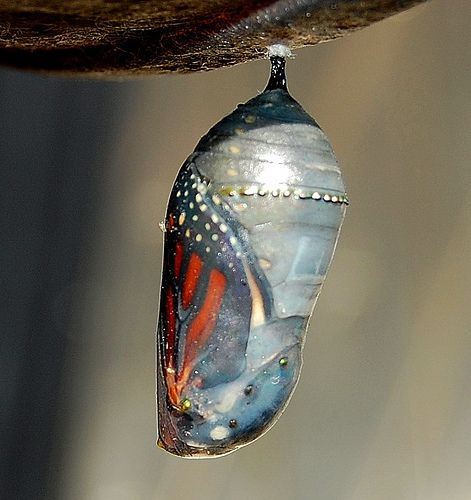 Cocoon - Butterfly  . One of our happiest memories... watching the monarchs hatch .