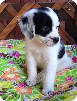 Cavalier King Charles Spaniel/Maltese Mix Puppy for adoption in carlsbad, California - DAKOTA