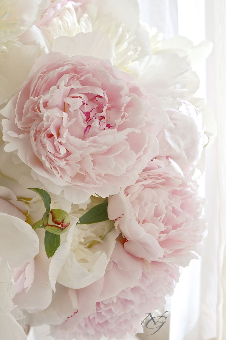 Peonies. Ultimate favorite flower. I'll have to remember to plant these