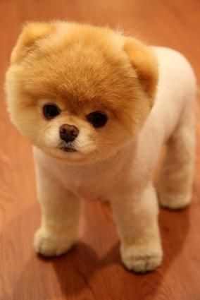 Boo, the five-year-old pomeranian, is nothing but cute!!  |  Sambazon