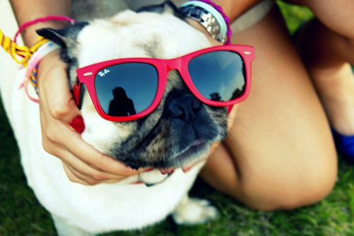 I hope my pug will let me put sunglasses on him. He will wear red heart ones and be the most stylish pug ever