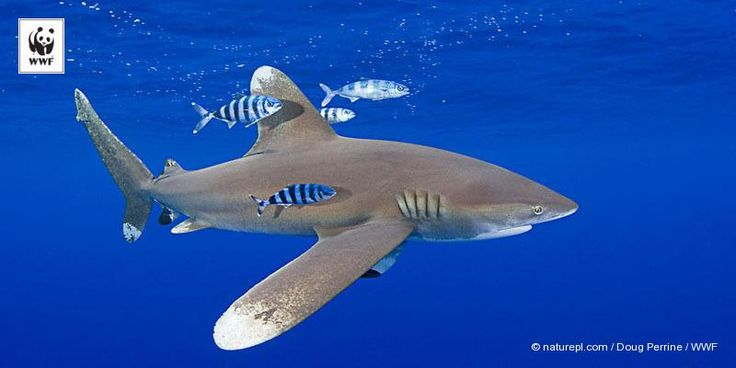 It's #Shark Awareness Day. Will you help us spread the message that sharks need our help?
