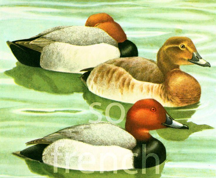 1961 Fuligule Milouin, canard plongeur, male femelle nuptial Ornithologie peinture animalière Déco Vintage de la boutique sofrenchvintage sur Etsy