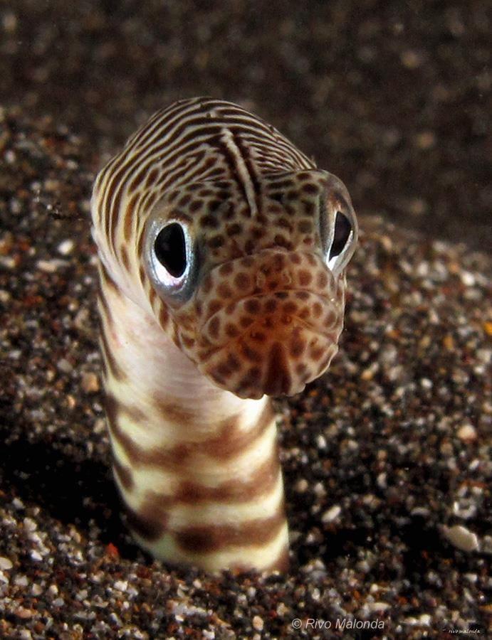 Garden Eel - Photographer: Rivo Malonda - Source : Underwater Macro Photographers - mad-as-a-marine-biologist: