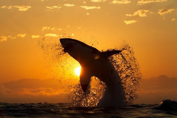 "Great White Shark jumping into the sunset"" photo was actually captured at sunrise, as part of a sequence, by Chris Fallows."