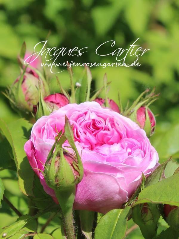 (2/4) Wenn es eine Liste der dankbarsten historischen Rosen gäbe, wäre 'Jacques Cartier' (Moreau-Robert, 1868) bestimmt ganz vorne mit dabei. Ihre umwerfend duftenden, romantischen Blüten in leuchtend Rosa sind stark gefüllt mit kurzen, gewellten Petalen und meist geviertelt. Übrigens, oft wird sie auch unter dem Synonym 'Marquesa Bochella' gehandelt.