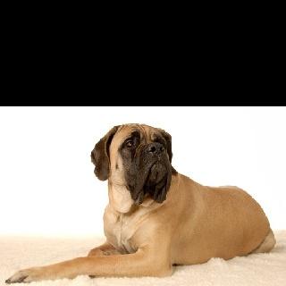English Mastiff!!