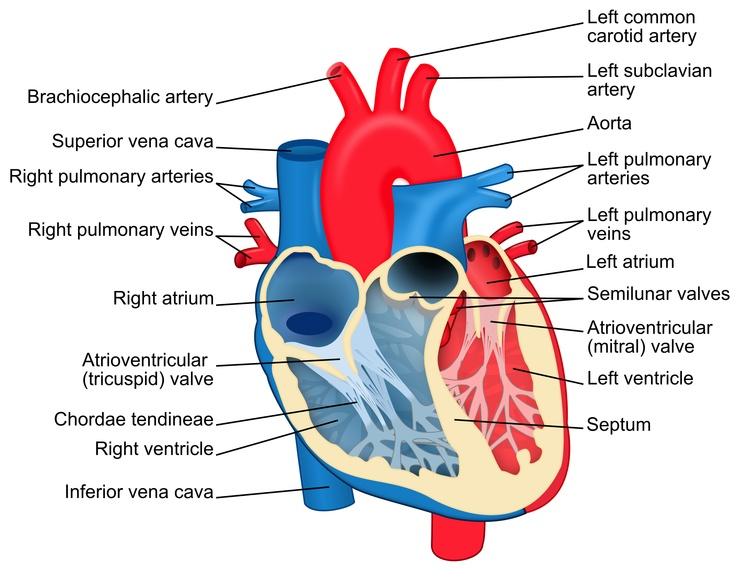 Structural diagram of the human heart, an organ that provides a continuous blood circulation through the cardiac cycle, from an anterior view. Blue components indicate de-oxygenated blood pathways and red components indicate oxygenated pathways.  Diagram: ZooFari