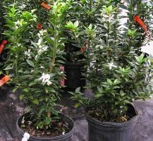 "Citrus myrthifolia 6""   La Jardinière St-Louis ltée   22.40$ Myrtle leaf orange or amaro (bitter orange)"