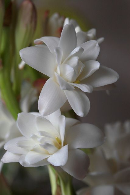 The Tuberose (Polianthes tuberosa) is a perennial plant related to the agaves, extracts of which are used as a middle note in perfumery. The tuberose is a night-blooming plant, with fragrant waxy white flowers, and is thought to be native to Mexico along with every other species of Polianthes. In Mexican Spanish the flower is called Nardo or Vara de San José. - Flickr - Photo Sharing!