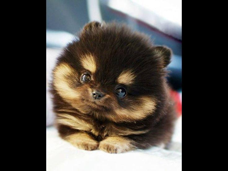 Pomeranian puppies <3