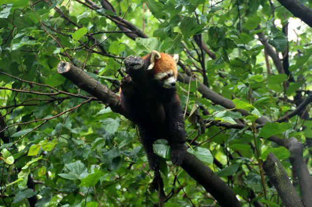Panda rojo , descansado en una rama