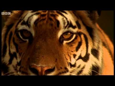 Launching Project Tiger - Battle to Save the Tiger - BBC