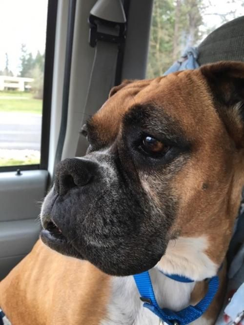 Pixie is an adoptable boxer searching for a forever family near Battle Ground, WA. Use Petfinder to find adoptable pets in your area.