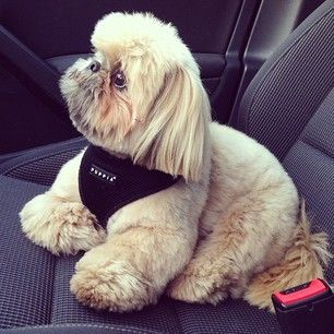 And going on car rides. | Daily Dougie Just Might Be The Cutest Dog On Instagram