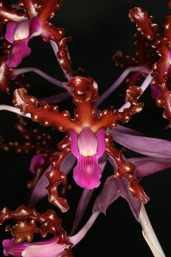 Houlletia brocklehurstiana - Orchids Wiki