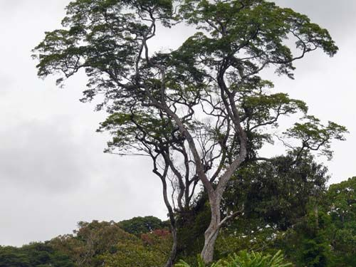 A fully-grown African Zebrano tree http://www.worktop-express.co.uk/wood_worktops/zebrano_worktops.html