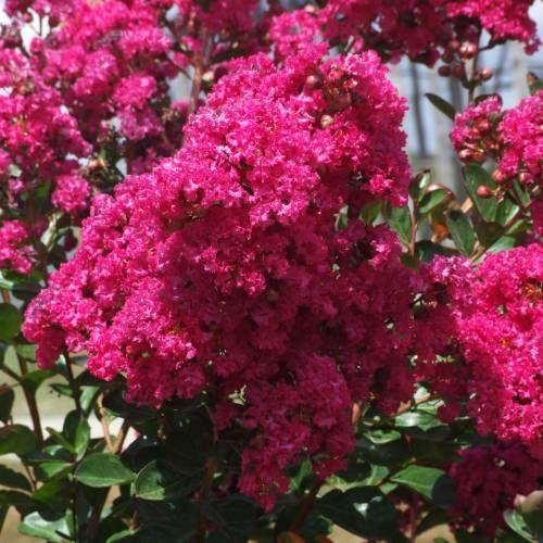 Lilas d'été rose fuchsia                                                                                                                                                                                 Plus
