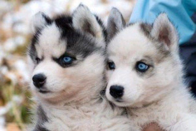 Husky Pekingese Mix Google Search In 2020 Cute Husky Puppies