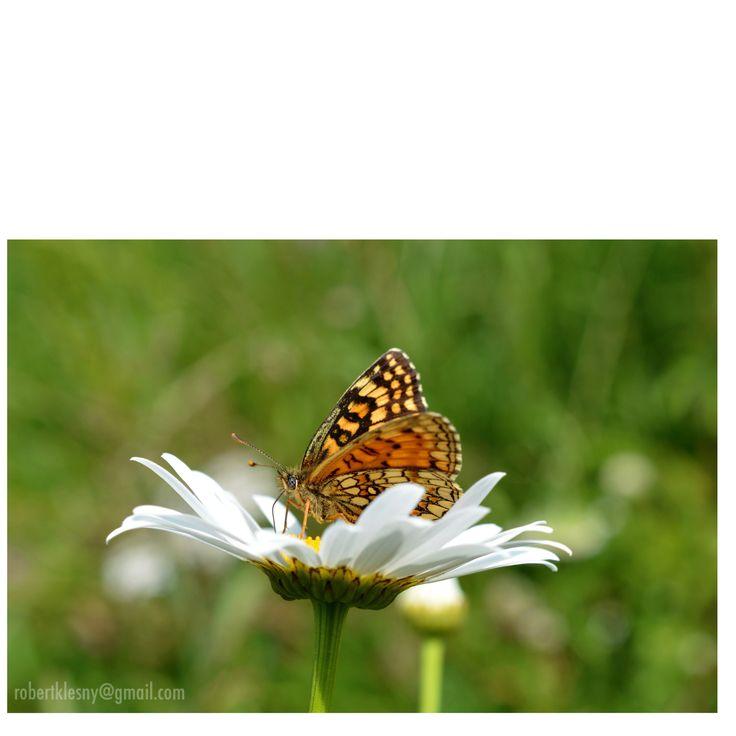 bieszczady motyl